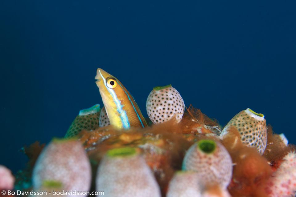 BD-111123-Raja-Ampat-5083-Plagiotremus-rhinorhynchos-(Bleeker.-1852)-[Bluestriped-fangblenny].jpg